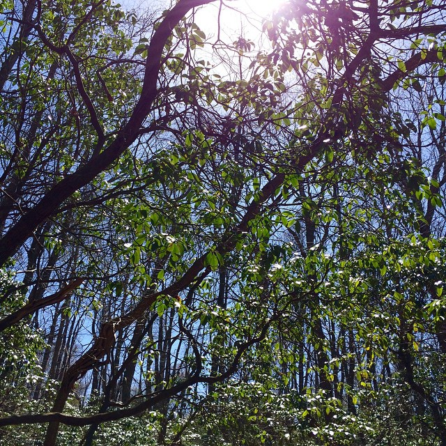 Hiking in Hartshorne's #springatlast #dappledlight #latergram